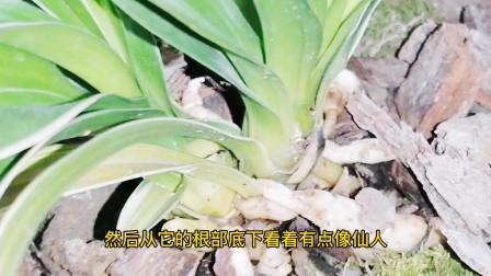 """公公带了一盆兰花来家里,像""""贵州龙""""一样的兰花,感谢好爸爸让我们一饱眼福"""