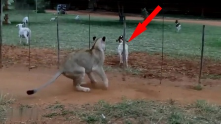 母狮悄悄接近山羊,下一秒意外了!