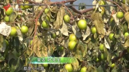"""惠州:一夜""""霜冻""""  青枣园九成果子被冻坏! 今日关注 20210115"""