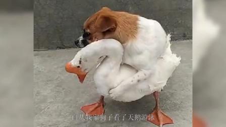 他就一直这样对我家的鹅