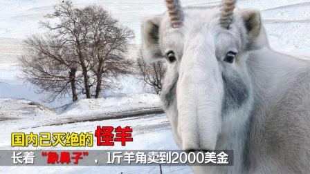 """国内已灭绝的怪羊,长着""""象鼻子"""""""