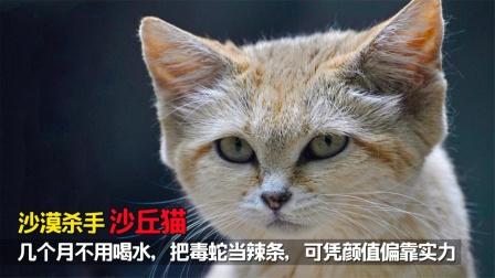沙漠杀手沙丘猫:不用喝水把毒蛇当辣条