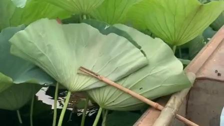 坐船在这荷花池中漂流,一个小小的木棍,却毁了荷花的好多温柔