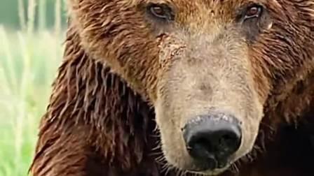 成年公棕熊的对手只有它的同类,看着硕大的体型,真不是一般人能降服的