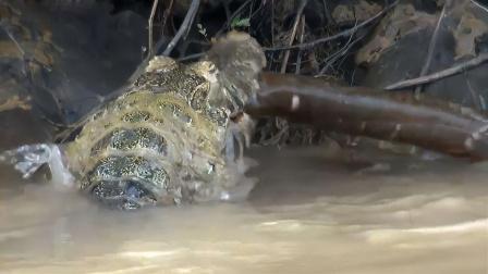 鳄鱼捕杀电鳗正准备吃,下一秒食人鱼赶来!