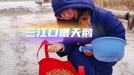 达朝阳老师带着夫人去兰州三江口给天鹅喂玉米发现天鹅少了三只