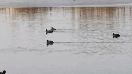 徒骇河湿地公园里悠闲的野鸭子