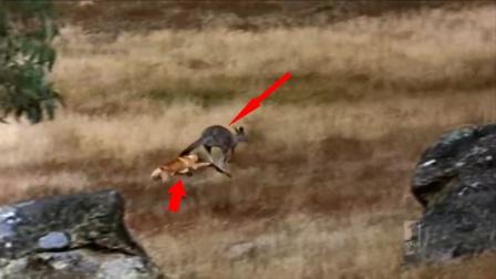 袋鼠被天敌追杀,下一秒结局太惨了!