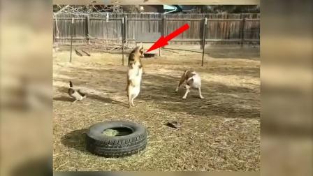 羊get到新技能,每天把牧羊犬吓得逃窜!
