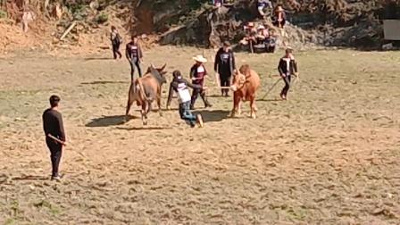 中国云南斗牛。