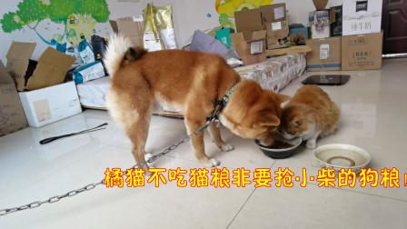 小柴成长vlog:橘猫不吃猫粮非要抢小柴的狗粮!最后他们一起干饭