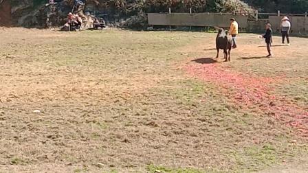 云南红河州斗牛。