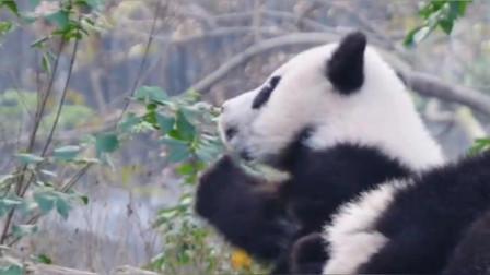 这熊猫这是在吃什么?