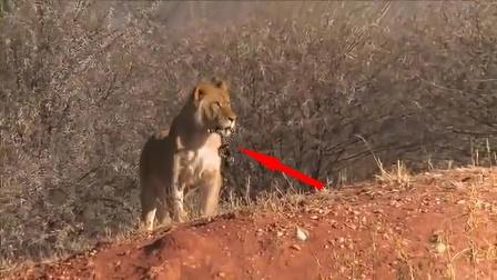 狮嘴叼着黑色物体,镜头拉近倒吸凉气!