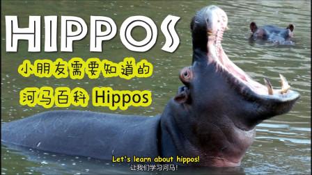 小朋友英语动物百科 河马你必须要知道的 Hippos