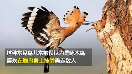 这种常见鸟儿常被误认为是啄木鸟