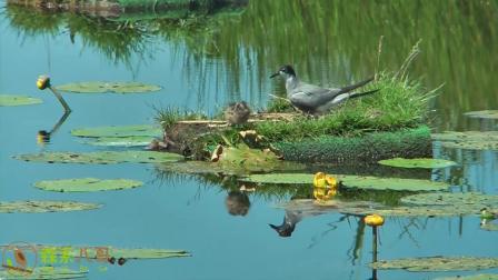 热心的爱鸟人士给燕鸥搭建了水上育雏平台,燕鸥们安心育雏