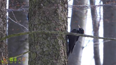 看过啄木鸟啄木,听过啄木鸟鸣叫吗?