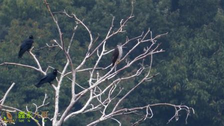 苍鹰也有对手,面对一群乌鸦的驱赶,无奈离开