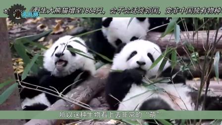 野生大熊猫增至1864只,会不会迁徙邻国,变非中国独有物种?