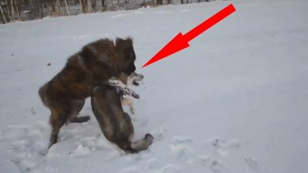 牧羊犬干上野狼,眼神凶狠杀气腾腾!