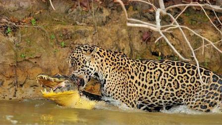 美洲豹进入水中捕杀鳄鱼,下一秒意外发生!