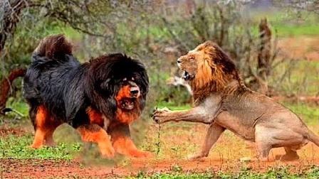 把10只藏獒放入大草原,它们能打败狮子吗?