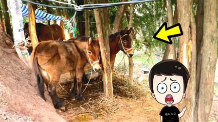 Vlog:炮芯爬山遇到驴,它居然在啃树皮,会不会吃人啊!
