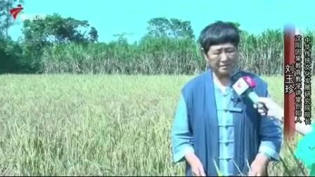 南方水稻北方种   一举成功创奇迹