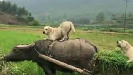 曾经只吃荤的狗子,自从被老牛带领,口味都变了!