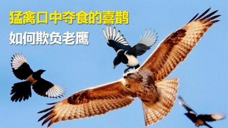 空中王者老鹰为何从不招惹喜鹊?谁惹谁倒霉