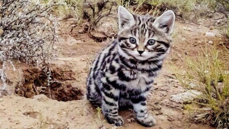 荒漠杀手黑足猫,敢攻击大自己10倍的动物