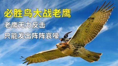 长相似麻雀的必胜鸟,老鹰都惧怕它