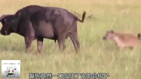 鬣狗一口咬住水牛要害,可怜的水牛疼的站不起来