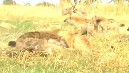 鬣狗仗着数量多,抢落单狮子食物,还狂咬挑衅狮子!