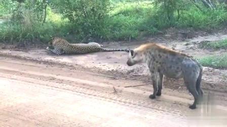 鬣狗偶遇花豹,鬣狗:好像是家养的