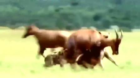 鬣狗啃牛羚大腿,牛羚疼得直跳脚,同伴慌忙逃开唯恐伤到自己!