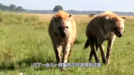 鬣狗围攻角马,不料却被小角马调戏,鬣狗:气煞我也!