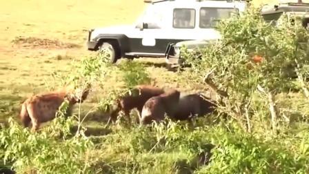鬣狗女王活捉一直落单小角马,还没来得及嗷叫,就被掏肛吃了