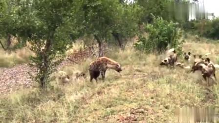 鬣狗碰到死对头了,野狗团队凭借超强的默契,将鬣狗杀得片甲不留