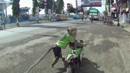 成精了!猴子骑着摩托车在马路上疾驰,背后的真相却令人心疼
