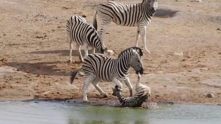 作死男子动物园骑斑马,不料斑马突然发飙,网友:帅不过三秒!