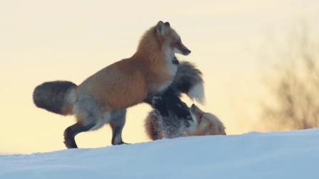 这招厉害了!狐狸扎进雪里捕老鼠,姿势酷似跳水运动员