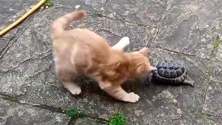 鸭子在水中遭乌龟袭击,咬住后腿死死不放,网友:连鸭子都不放过