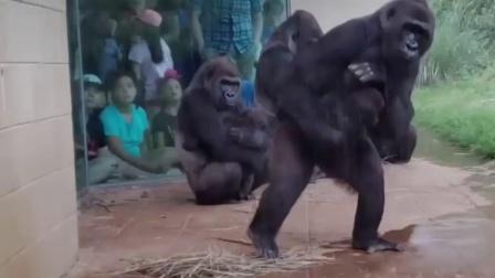 猩猩爬上电线杆,被工最人员注射麻醉,药效发作后直接掉下电线杆