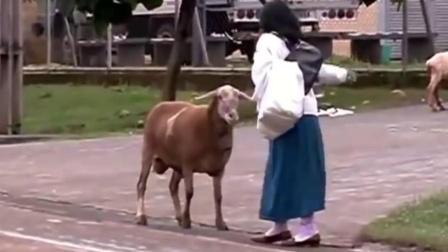 猫咪去羊圈挑衅小羊,羊忍无可忍把它撞下栏杆,羊:在我地盘嚣张
