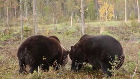 两只小熊马路中间打架,打输了就找妈妈,司机:是熊孩子无疑了