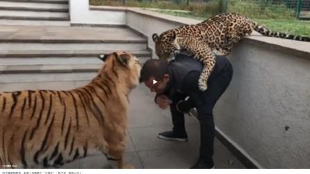 豹子想要偷袭管理员,老虎威胁道:吃了他我们以后吃什么?