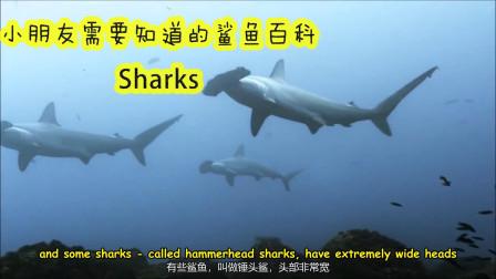 小朋友英语动物百科 鲨鱼你必须要知道的 Sharks