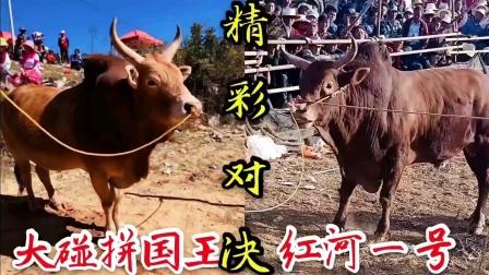 开远精彩斗牛:红河一号PK大碰拼国王
